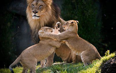 wallpapers small lions fight big lion