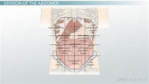 The 4 Abdominal Quadrants  Regions  U0026 Organs
