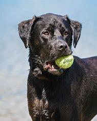 Animals Dogs Labrador Retriever