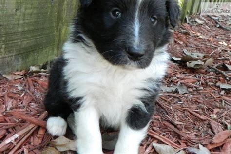 meet male  cute shetland sheepdog sheltie puppy