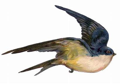 Bird Swallow Flying Fairy Burung Walet Gambar
