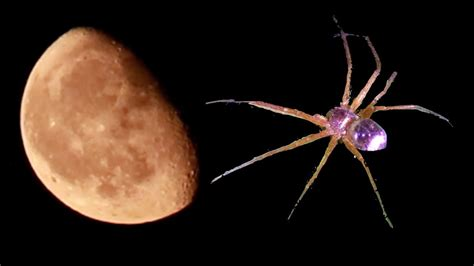 Coyotes Howling & Metallic Crab Spider - YouTube