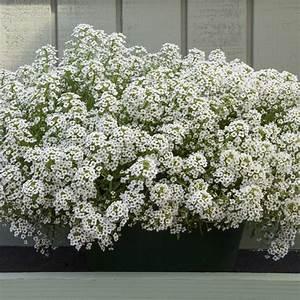 Alyssum Seeds - Sweet Alyssum - Annual Flower Seeds