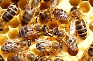 Wie Machen Bienen Honig : honig im dreivierteltakt aspekt magazinaspekt magazin ~ Whattoseeinmadrid.com Haus und Dekorationen