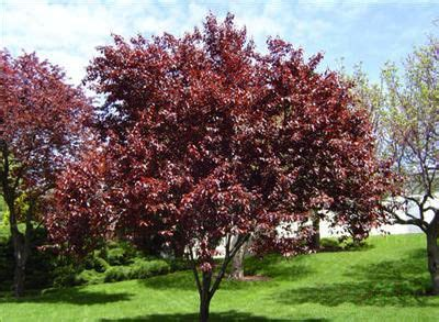 thundercloud cherry tree prunus cerasifera thundercloud red plum red edible permaculture hotel garden pinterest