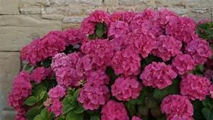 Arbuste Fleuri En Pot : l hortensia spectacle fleuri d t ~ Premium-room.com Idées de Décoration