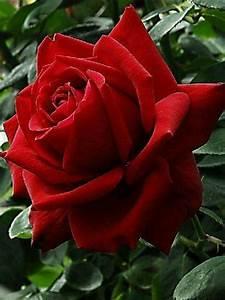Langage Des Fleurs Pivoine : beautiful red rose roses pinterest rosier fleurs et rose ~ Melissatoandfro.com Idées de Décoration
