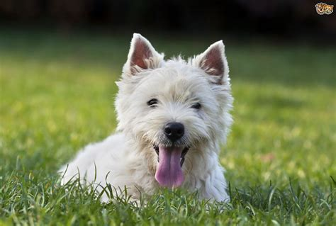 Types Of Dogs That Dont Shed by Are West Highland Terriers Good With Children Pets4homes