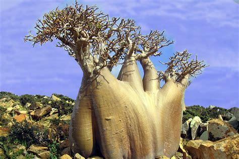 Paradise Holiday Destination, Socotra, Yemen, Bottle Tree ...