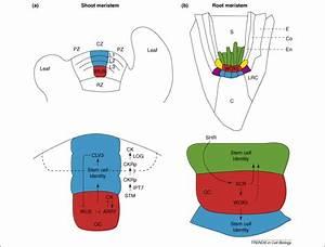 Prayer Plant Stem Diagram