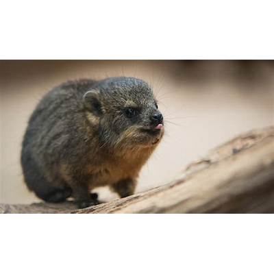 Rock Hyraxes: 'Little brothers of the elephant' born
