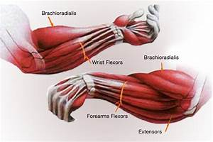 Lower Arm Muscles Anatomy Pictures to Pin on Pinterest ...