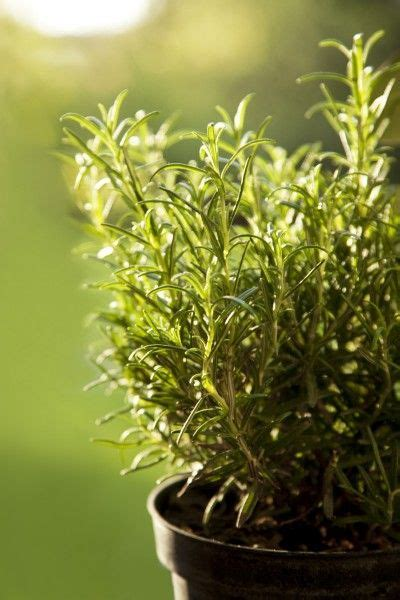 rosemary plant care rosemary container care tips for growing rosemary in pots skin cancer to grow and warm