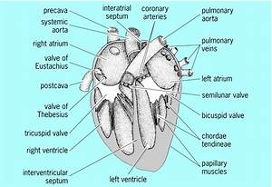 Ladder diagram explanation gallery how to guide and refrence diagram of the longitudinal section of the mammalian heart gallery how to guide and refrence ccuart Images