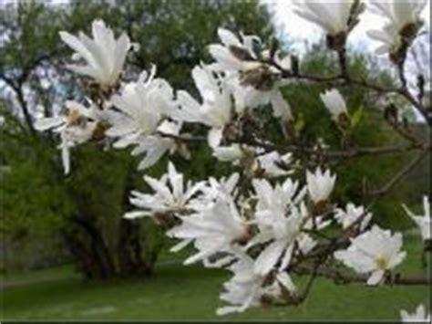Latvijas Universitātes Botāniskajā dārzā sāk ziedēt magnolijas - Daba, Ekoloģija - Latvijas reitingi
