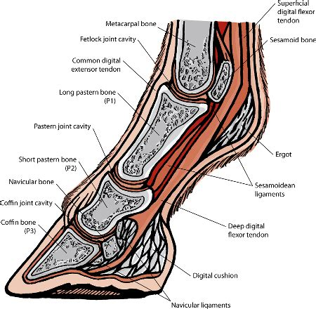 horse navicular foot bones anatomy joint horses disorders equine bone hoof joints syndrome curricular quick manual muscle sidebone merck help