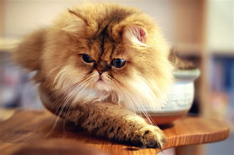 Persian Cat Facts Know Your Persian