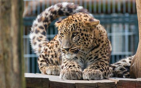 wallpaper leopard big cat  animals
