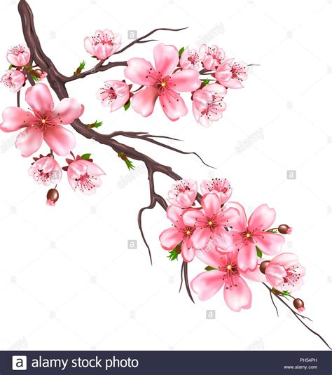 Sakura Vector Vectors Imágenes De Stock & Sakura Vector