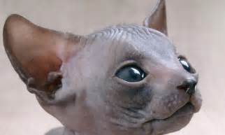 hairless cat sphynx cat related keywords suggestions sphynx cat