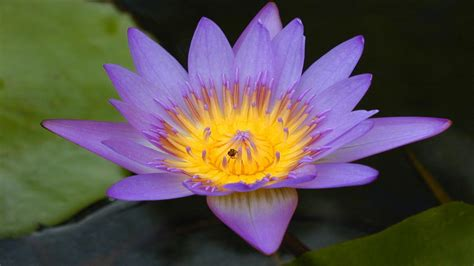 Lotus Flowers - Flower HD Wallpapers, Images, PIctures ...