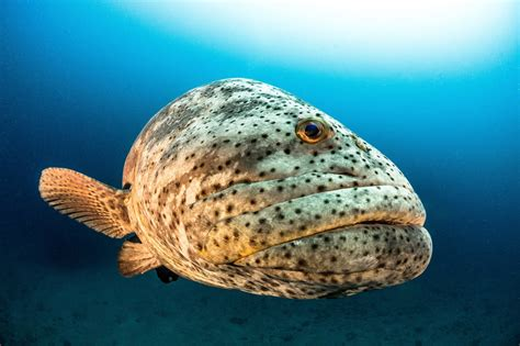 grouper goliath endangered florida critically protect save killing ocean mission
