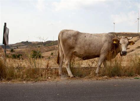 amazonia si鑒e social qualcosa si nasconde nella carcassa di una mucca la scoperta mette i brividi