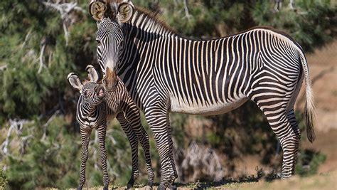 zebra skin color zebra san diego zoo animals plants