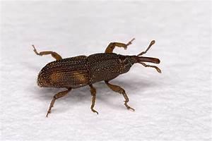 Rice  U0026 Granary Weevils