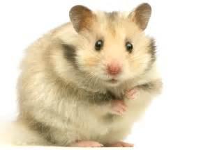 Espérance De Vie Hamster by Photos Hamster Hamster 1760 Wamiz