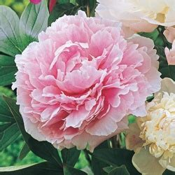 do peonies like sun or shade gardens peonies garden and colors on pinterest