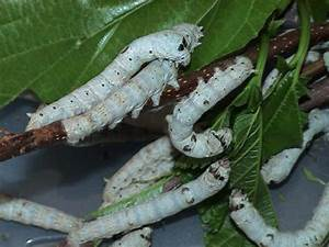 The ill-fated S... Silkworm