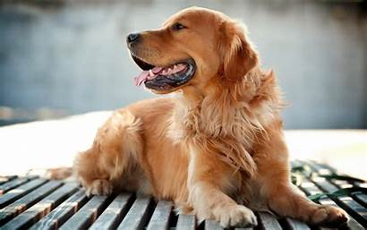 Golden Dog Retrievers Retriever Animals Desktop Wallpapers