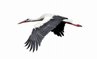 Burung Gambar Transparent Bangau Kartun Kacer Clipart
