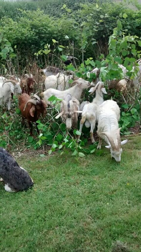 chinese woman killing  goat goats  meat  dairy woodstock sanctuary woman cited