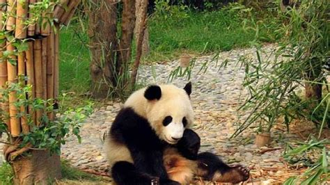 china outlaws  eating  endangered animals iflscience