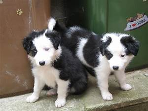 Border collie puppies for sale in caerphilly. | Caerphilly ...