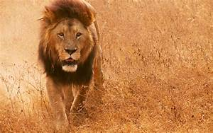 wallpapers: African Lion Wallpapers