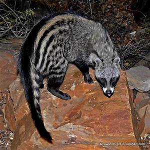 The gallery for --> African Civet Cat