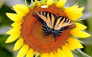 Butterfly, On, Sunflowers, Wallpapers, Hd, Desktop, And, Mobile, Backgrounds