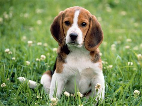 beagle puppies pc desktop wallpaper