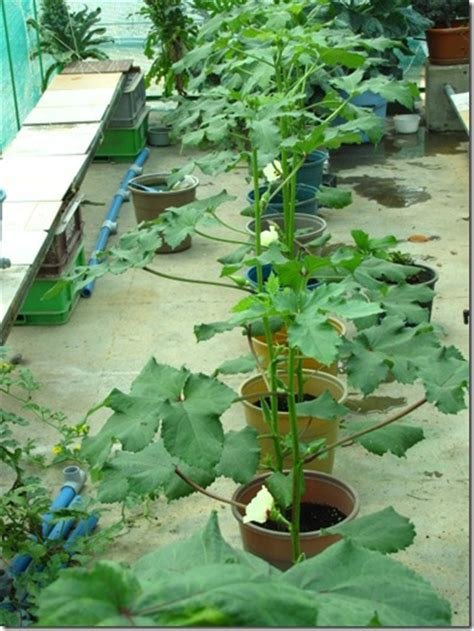 Growing Okra  How To Grow Okra In Containers Urban