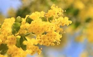Mimosa Résistant Au Froid : peut on planter un mimosa partout en france ~ Melissatoandfro.com Idées de Décoration