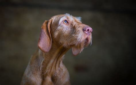 Wirehaired Hungarian Vizsla Puppies For Sale Huntingdon Cambridgeshire Petshomes