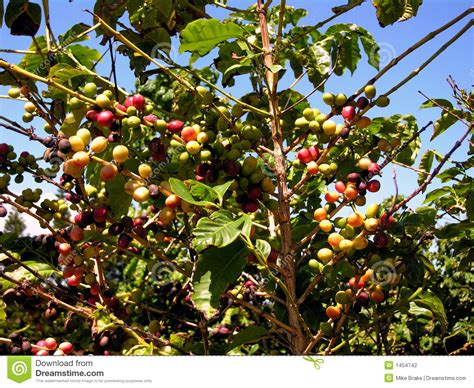 Hawaiian Coffee Plant Stock Photo. Image Of Drink, Farm Black And Decker Coffee Maker Sneak A Cup Self Clean Instructions Ani Barach Kahi Hd Songs Table To Go With Chesterfield Sofa Stainless Steel Carafe Mugs Target Instrumental Music Mp3 Repair Parts