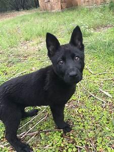 Solid Black German Shepherd Puppy | German Shepherd ...