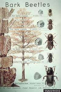 Bark Beetles  Subfamily Scolytinae    Coleoptera  Curculionidae
