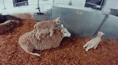 Sheep Gifs Surfin Animated Giphy Reddit Imgur