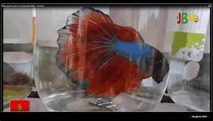 Macam Status Angkola Facebook: Ikan Cupang dan Kekuatan ...