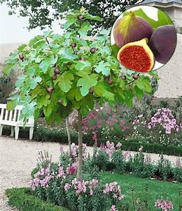 Feigenbaum Im Garten : feigenbaum st mmchen feigen bei baldur garten ~ Orissabook.com Haus und Dekorationen
